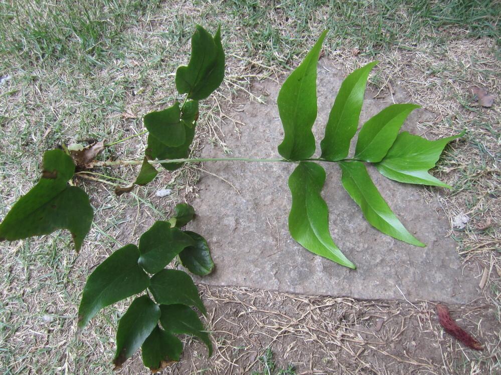 北側の庭に生えてきました。30cmぐらいです。この植物の名前を教えて下さい。よろしくお願いします。