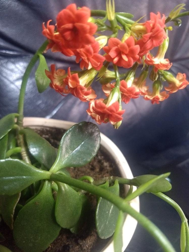 この写真の鉢植えは、何という植物ですか? ご教授宜しくお願い致します。