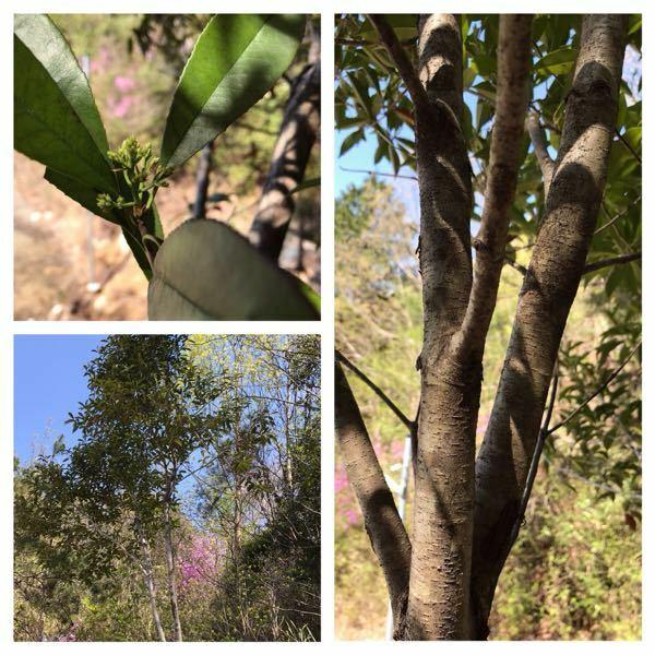 この木は何ですか。 どなたかご教示下さいます様よろしくお願い致します。
