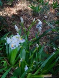 失礼いたします。 里山でこの時期に咲いていましたが 花の名前を教えて下さい 宜しくお願いいたします