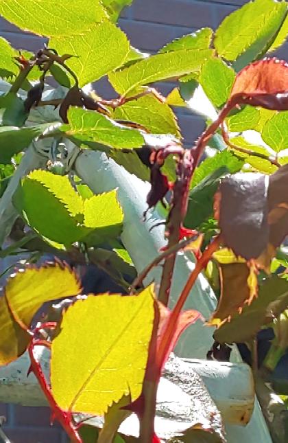 地植えのバラの新芽が ちりちりになってしまいます。 他の鉢のバラもこのようになっています。 潮風の強風が原因でしょうか?