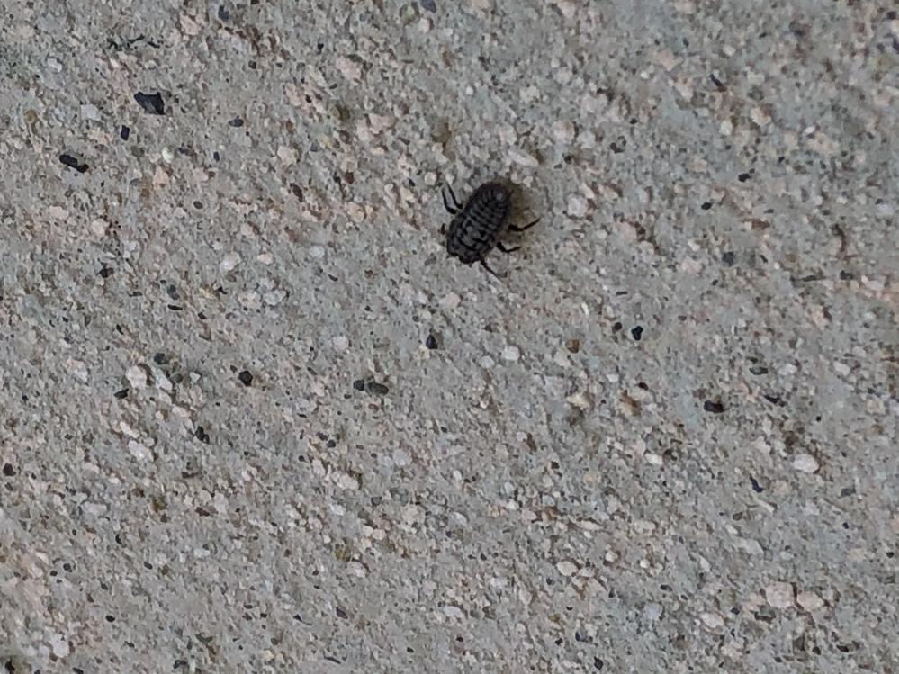 この虫は何でしょうか? 体長9mmです。家の壁を歩いてます。明日6本、触覚2本、目はないようです。