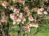 これは何の木の花でしょうか? ドウダンツツジに似ていますが、花は大きめで樹高3メートル程です。