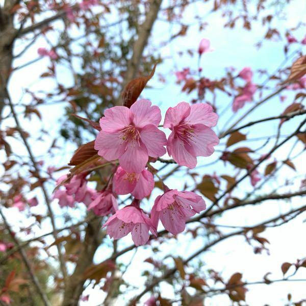 この桜の種類は何ですか?