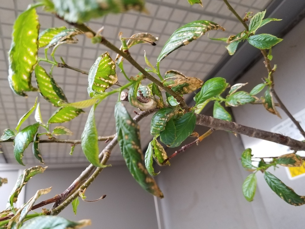 暖地桜桃について。 苗木から1年目の時は普通に成長していたのですが、2年目、3年目の今年と春先から画像のように葉が枯れてしまい、 全然成長しません。植木鉢ですが水切れや根ぐされないよう、土が乾いてからたっぷりの水やりを行っています。元肥は使用せず液肥を1ヶ月に1回程度あげています。枯れてしまう要因、何が考えられるでしょうか。