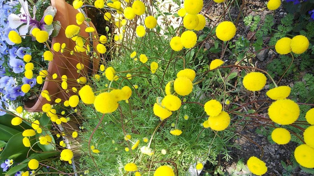 友人にいただきましたが、名前がわかりません。友人も知らないそうで、一年草ですが、種がこぼれて毎年咲くそうです。 花びらがどれなのかよくわかりません。