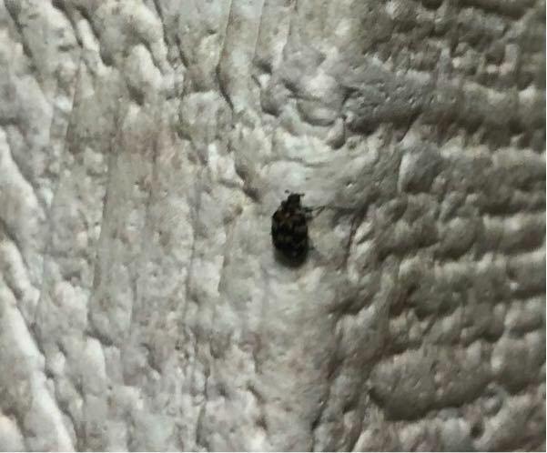 この虫の名前なんですか? 潰しても潰しても部屋に数日おきに出てくるんですけど、卵産んでるんですかね?