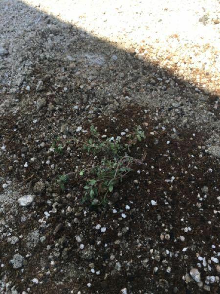 クリーピングタイムを植えています。 先週から植えていますが、買った時より元気がなく、葉も小さくなったような・・・ 株をわけて植えたので、ダメージを受けた影響でしょうか? それとも、日当たり?硬い砂利に植 えているからでしょうか? 水不足かなと思って先程水を与えましたが、ちゃんと育つか心配です。