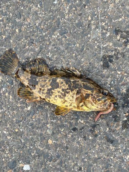 釣り初心者ですいません、、 この魚の名前分かる方教えてください!!!
