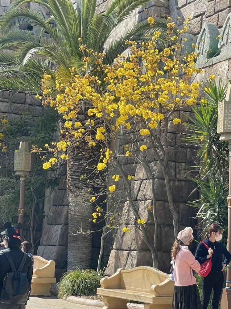 今日4月11日(日)のディズニーシーで見かけた「黄色い花の名前」をご存知な方教えてください。 おおきな木で黄色の花がサトザクラのようなものでした。 近くにあったアトラクションは、確かシンドバッド...