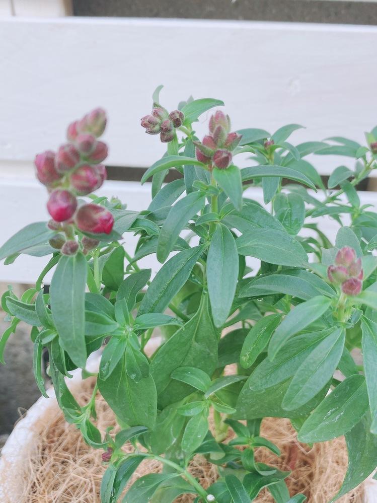 寄せ植えを購入したんですが、この花はなんと言う名前なんでしょうか!?