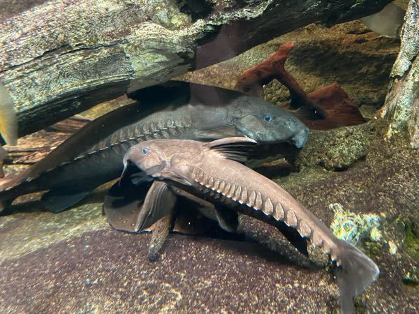 サンシャイン水族館で見た魚です。 名前が知りたいです。