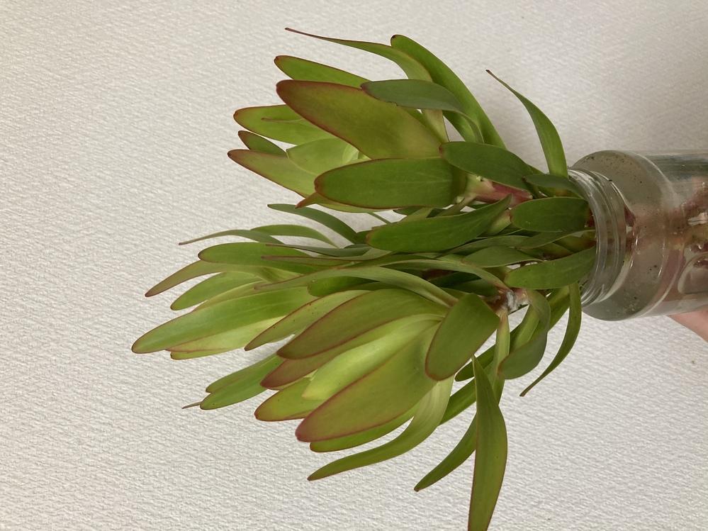 至急お願いします。 この植物の名前を教えて下さい。 葉が薄いので多肉植物ではなさそうです 茎は赤めです よろしくお願い致します。