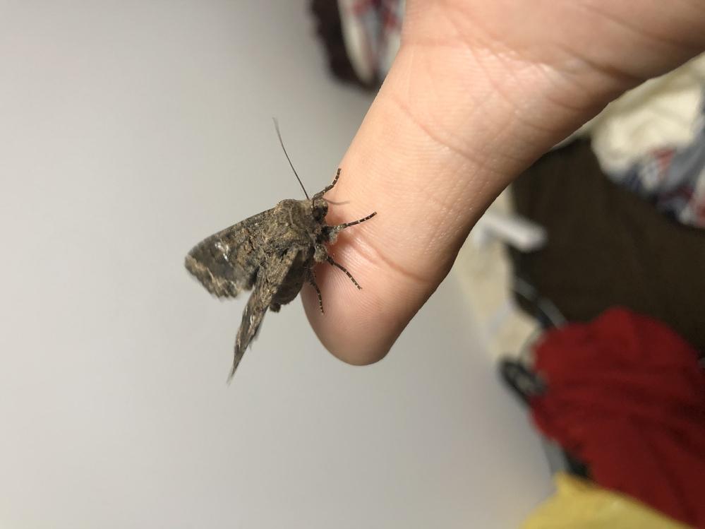 とても見づらくて申し訳ないのですが、どの種類の蛾でしょうか? 図鑑で調べてみてもどれがどれだか、、、 よろしくお願いします。