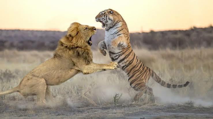 ベンガルトラVSアフリカライオンが戦ったらどの様な戦いになりますかね?