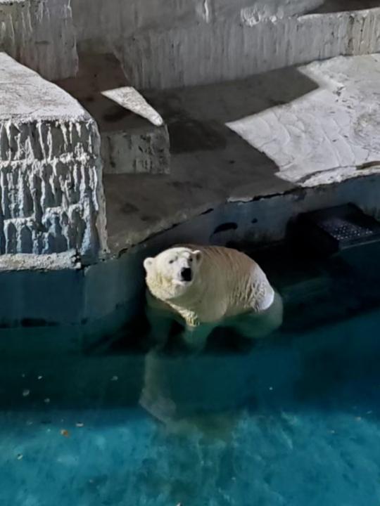 これは去年10月18日の天王寺動物園のナイトズーで撮影したホッキョクグマですが、 ゴーゴですか? それともイッちゃんですか?