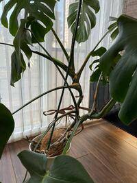観葉植物をインテリア用に買ったのですが、どんどん横に伸びていきます。下の方の葉っぱは、なくなります。 この植物は、どのように剪定したり育てるのが良いですか?しかも、名前も分かりません。 詳しい方、よろしくお願いします。  現在、棒にくくりつけてます。横に倒れるので。。。