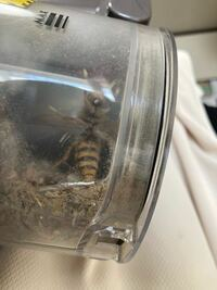 これってハチですか?ものすごい羽音で室内にいたので掃除機で吸ったんですけど、どうしたらいいでしょう?