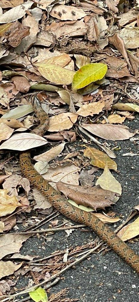 今日山で見つけました。 この蛇はなんでしょうか?