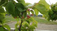 庭の桜の木が、こんな赤い実を付けてました。 これってサクランボですか?
