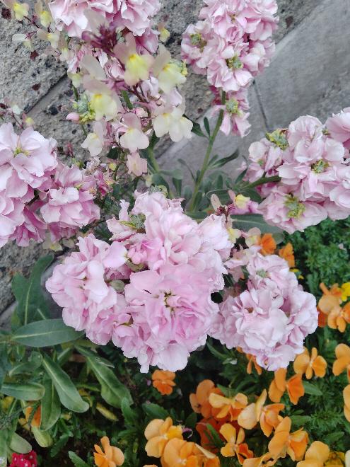 このお花の名前教えてください。