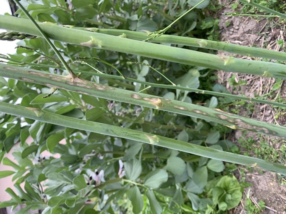 アスパラガス栽培。 これは、茎枯病でしょうか? 1本だけ、こんな状態です。 対策を教えてください。 二年目アスパラガスです、 まだ、一本も、収穫はしなてないです。