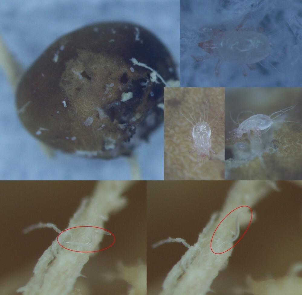 クワガタ飼育に関わるダニと線虫について 私は昨年より始めた初心者なのですが,タランドゥスオオツヤクワガタを飼育しています.今回人工レイシ材を用いて産卵セットを組み,2週間で採卵,親の削りカスを用いて管理ということを行いました. 1度目では採卵した卵が10個すべて孵化しましたが,そのうちの1頭が孵化後1日ほどで死んで萎んでしまっていました.その死骸を顕微鏡で観察したところ多数の線虫がまとわり...