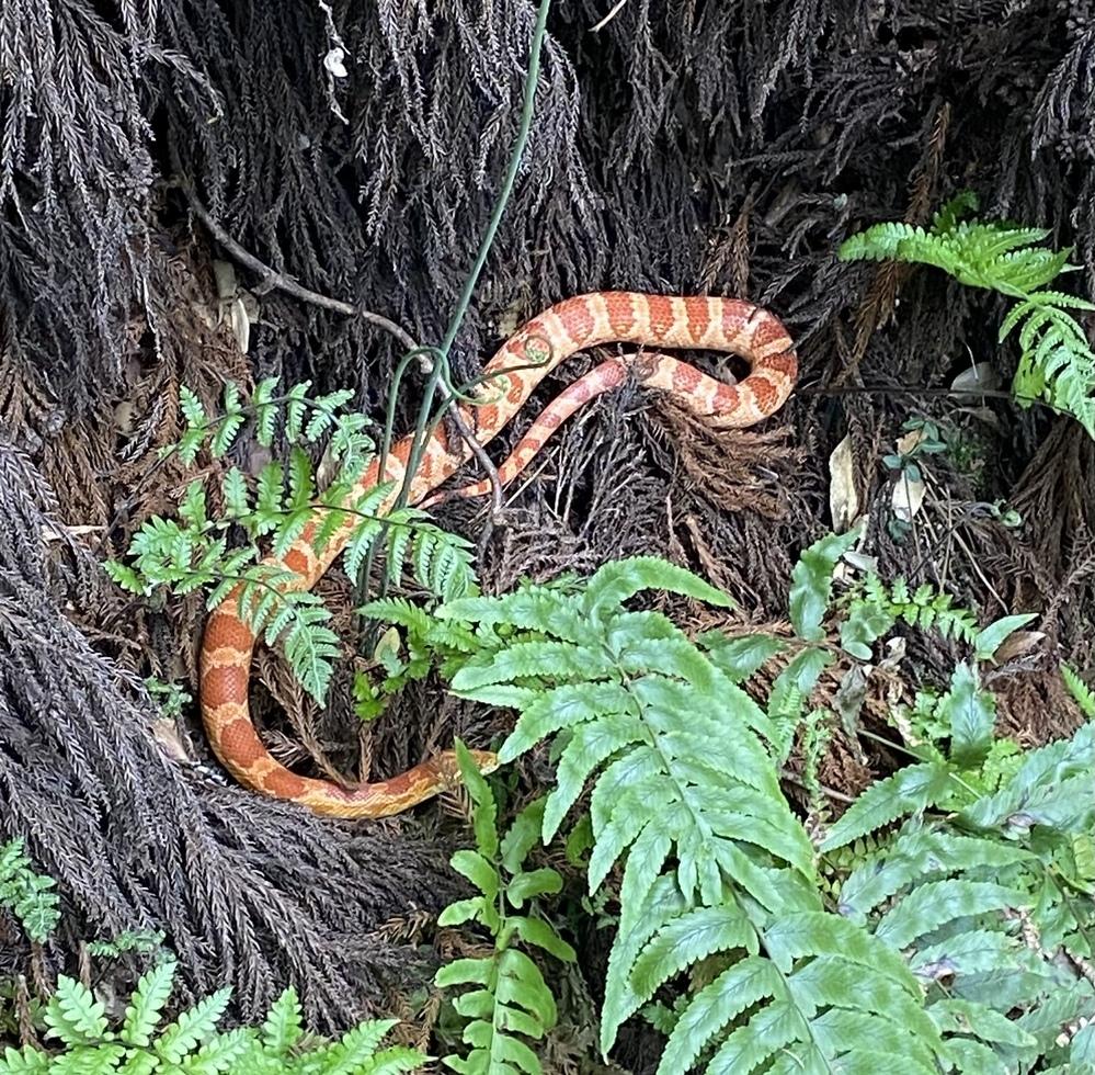このヘビはマムシですか?