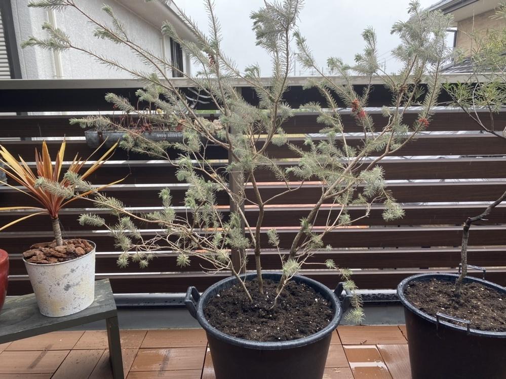 教えて下さい! この植物、何という名前かわかりますでしょうか?? 3年前くらいにお店で買ったのですが、、樹形だけで選んで名前まで聞いにしてなかったのですが今になって気になってしまって。どなかた詳しい方よろしくお願い致します。