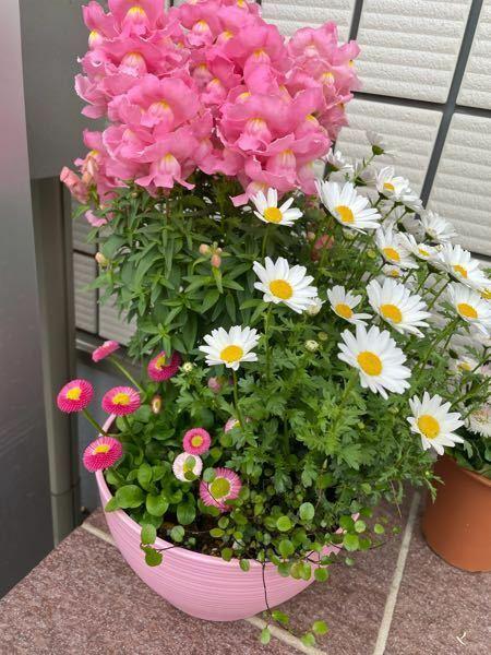 初めて花を育てます。 昨日ホームセンターで プランターに始めから植えてあったこちらの 花を買いました。 全てなんの花でしょう? 見た目だけで決めてしまい、花の名前までは 気にしてませんでした。 無知ですが、金魚草?とマーガレットかな? と思っていますが。 外に置いているのですが、この季節、外に出しっぱなしでも大丈夫ですか? 水やりは、土が乾いたらあげるようにしようとおもいます。 白いお花の...