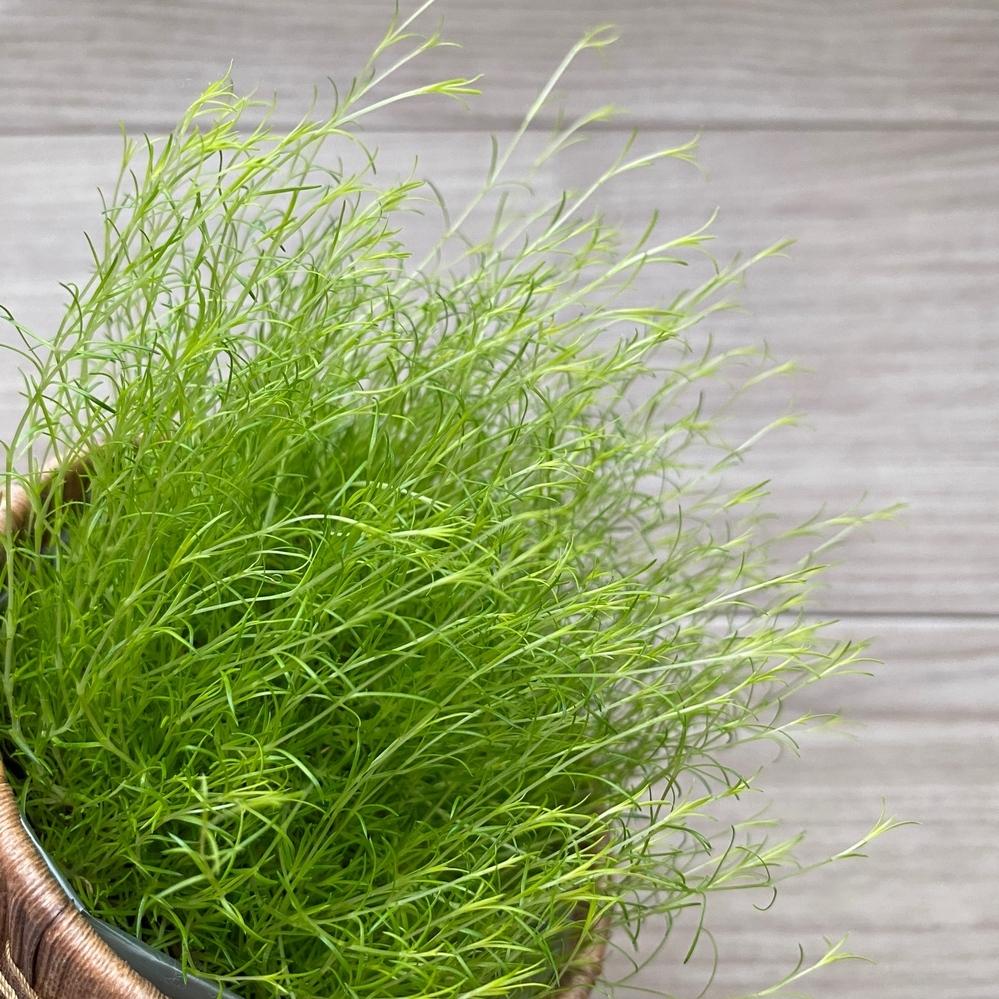 この植物の名前分かる方いらっしゃいますか?? 葉がとても細くて、色味は野菜の水菜のような感じです…