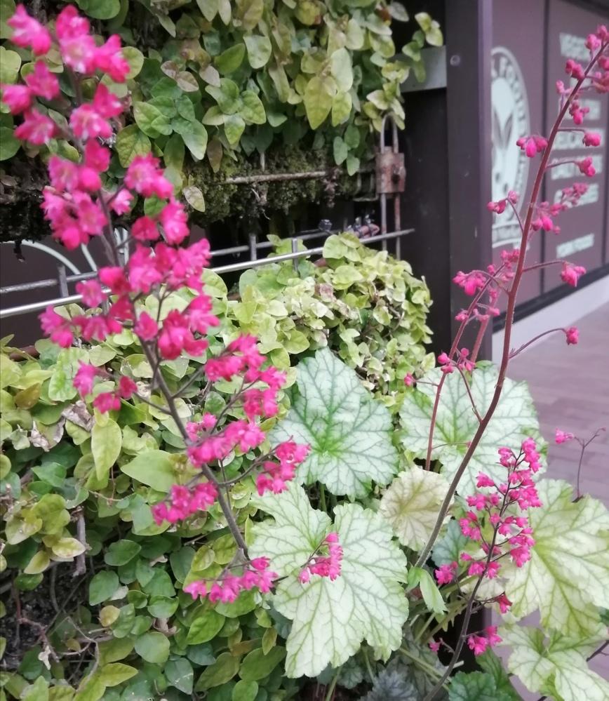 ヒューケラですか?名前を教えてください。 https://flowers.hasma.jp/family/saxifragaceae/