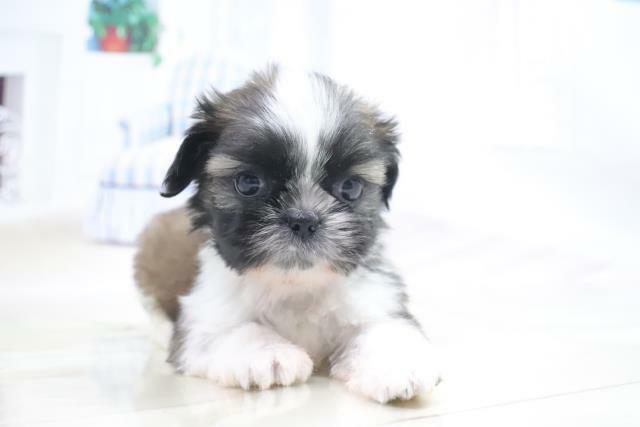 シーズ犬が欲しいです。ペットショップのこの犬が欲しいです。7月に現金で買えそうだけど、売れてると思いますか? 近くのペットショップくーりくに聞いたら、売れてる可能性あり、それか、ブリダーの所に返されると言われました。 後、十万ごときで、ローンは組みたくないし、くーりくの1歳行った犬、猫、ほとんどが商談中が多く、私がやっと貯まったころも商談中になってると思いますか?