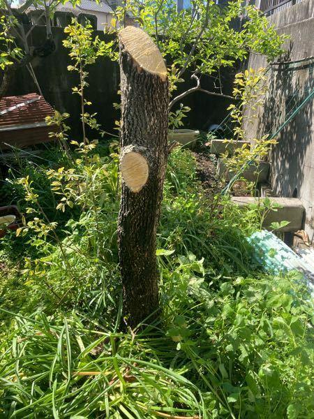 裏庭の渋柿の木を切ったのですが、 枯らすには、根本から切るべきですか?