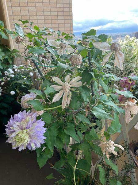 今年、鉢植えのクレマチスを購入しました。 沢山の蕾が付いて楽しみにしていたのですが、 開花したのは3つくらいで他は、全ての蕾が 写真の様に枯れていきました。 原因を知りたいです。 宜しくお願いします。