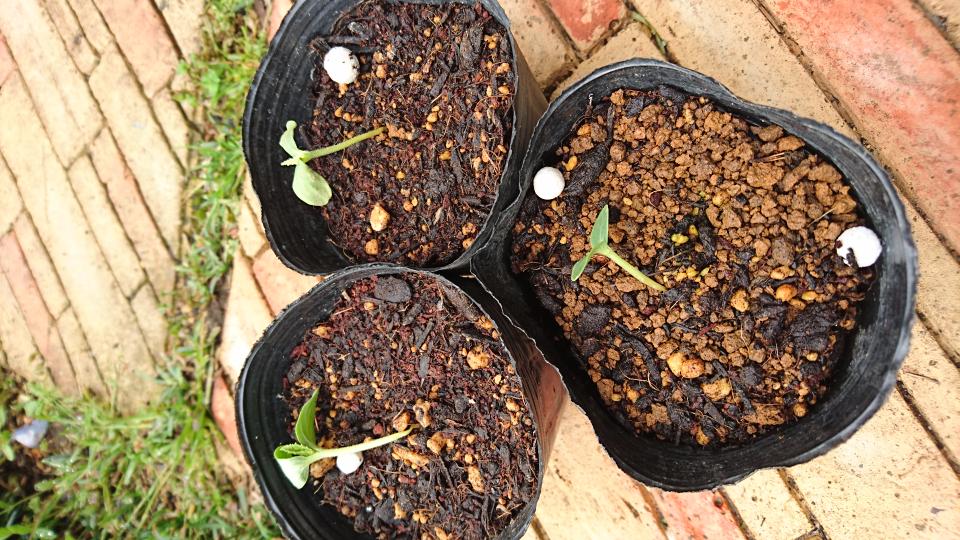 マクワウリの種まきをして、芽が出ましたが 写真の様に茎が根本で細くなり、倒れてしまいます。 この、原因は何でしょうか? 今日、もう一度種まきしましたが発芽した後の育て方をお願いします。
