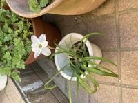 この花の名前を教えていただけませんか?  何も植えた記憶がない鉢から出てきて咲きました。図鑑で探したのですが見つけられませんでした。