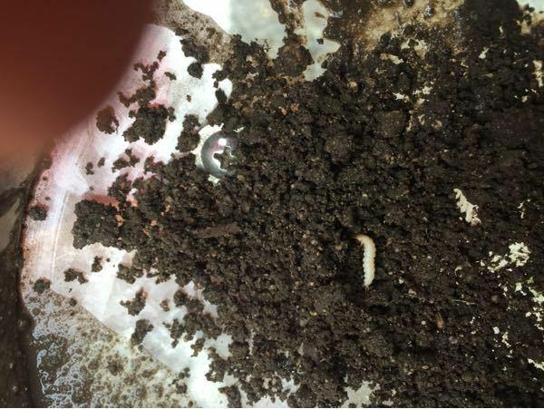 すみません。畑の土から出てきたのですが、これは何の幼虫でしょうか? よろしくお願いします。