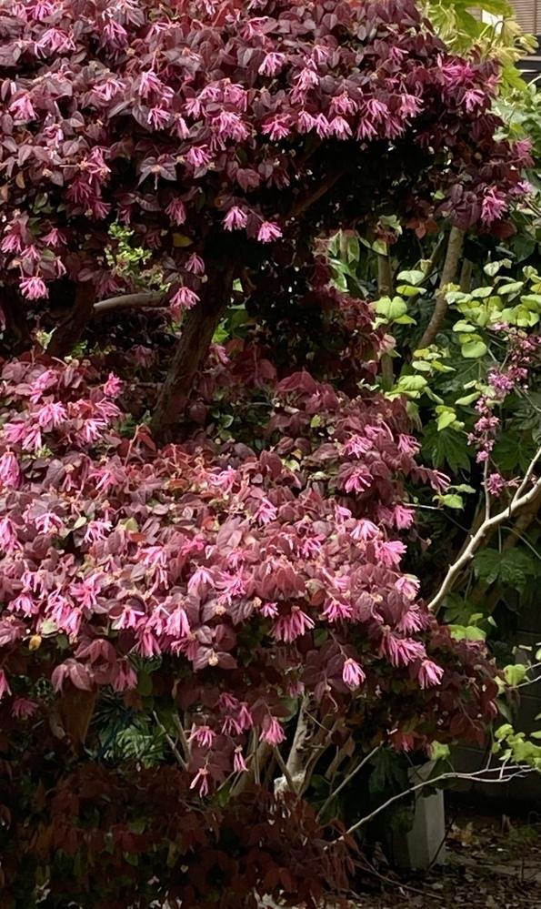 知人の庭に咲いていました。 何という花(木)ですか。知人も、親から相続した土地で、庭木の名前までわからないようです。教えて下さい。