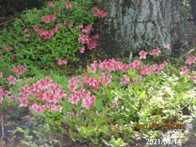 ヤマツツジの花が一斉に(すべてが)明るい方を向いてます、 なぜそうするのか?その仕組みを教えて下さい、 岐阜県米田白山で、 撮影20210414