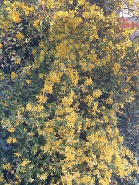 うちの家に咲いている花について教えて欲しいです。 3月後半から4月くらいに咲き始めて、画像のような黄色のお花が咲きます 匂いは花に鼻を近づけて思いっきり嗅ぐとバニラのような甘い香りがしました! おばあちゃんがガーデニング好きで植えていたようなのですがなんというお名前の花なのかわかりません! どなたか教えて頂けませんか? この時期になると咲き始めるのでそれまでが楽しみだしとっても可愛くて...
