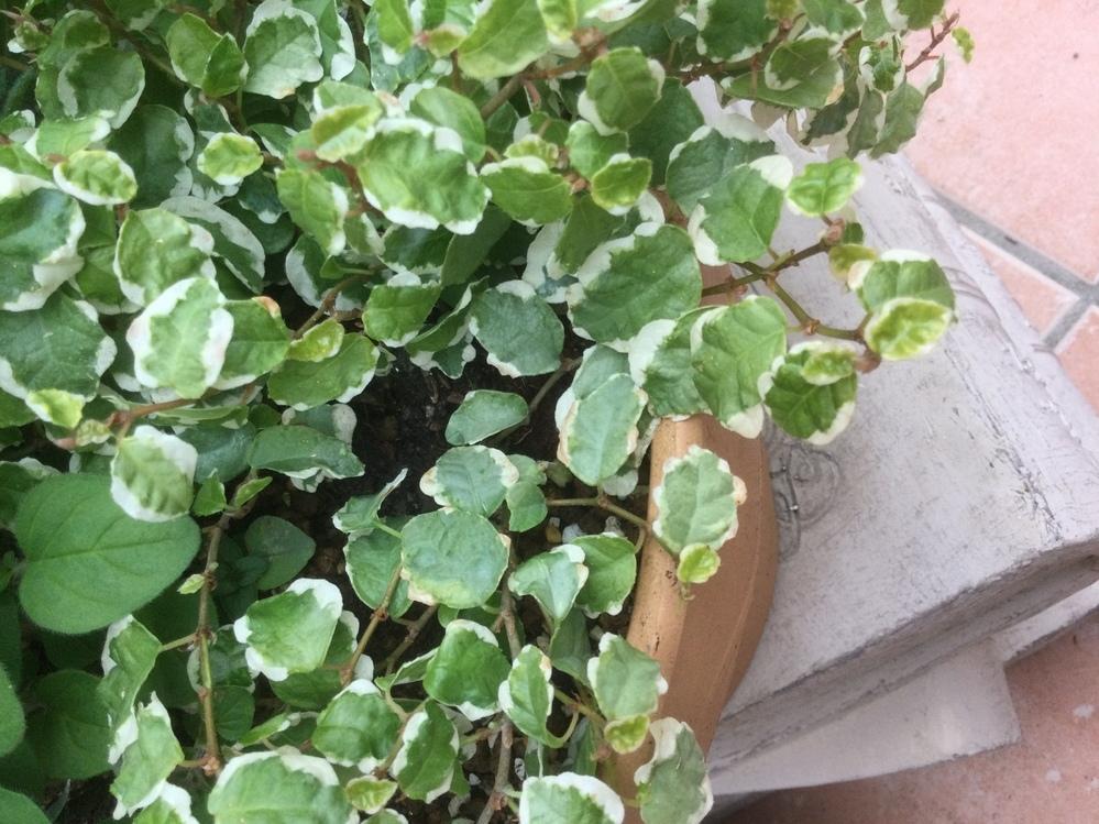 フィカス プミラについて教えて下さいませ。 屋外日当たりのいい所、素焼きの鉢植えで育てておりました。 水やりは表面が乾いたら、 お水を全体にじゃぶじゃぶ鉢底から出るほどあげておりました。 ですが画像の様に白い部分が茶色くなっております。 葉を触るとパサパサしております。 このままだと枯れてしまうでしょうか?( ; ; ) 根腐れしない様に乾燥し気味に管理し過ぎたかもしれません。 もう手遅れ...
