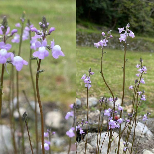 道端の雑草なのですが、この花の名前がわかる方、ご教示願います。