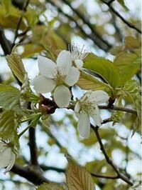 遅咲きのこの桜の名前がわかる方、ご教示願います。 花の直径は1cm程で小さい桜です。
