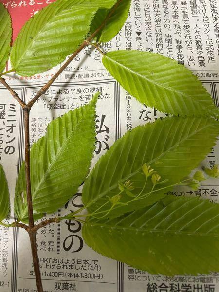 この木の名前を教えて下さい。 埼玉県の山間部の沢沿いに生えていました。 クヌギかカバノキの仲間だと思うのですが、、