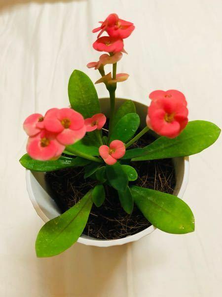 この植物何かわかりますか? また、この植物の花?が咲く時期がわかる方教えてください!