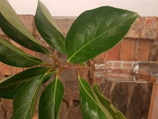 この植物は何ですか? 挿し木にしたいのですが、どの葉を取って、何枚残せばいいですか? 日当たりについてのアドバイスもお願いします!