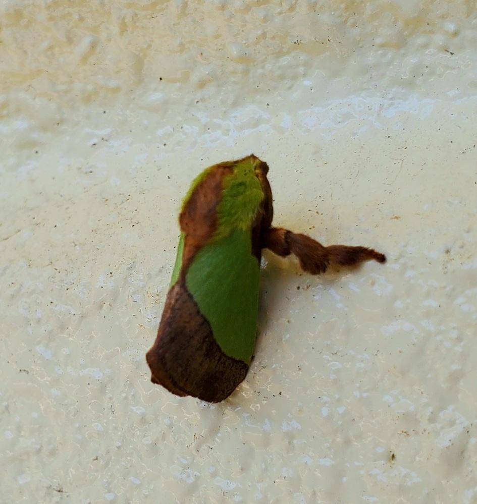 こちらの昆虫の名前を教えてください(;>_<;) 蛾の一種かなと思うのですが… 沖縄県です!
