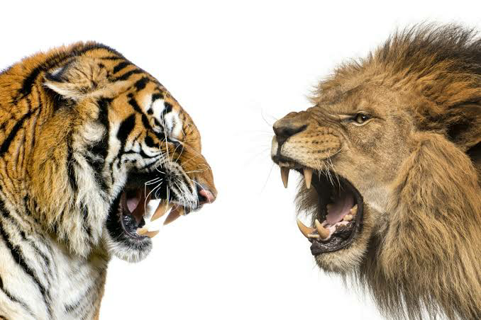 250kgのライオンとトラVS500kgのヒグマが本気を出して戦ったらどの様な勝負になりますか?
