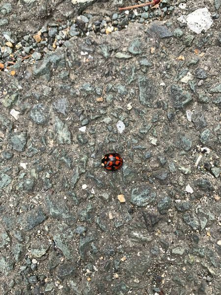 これはなんという名前の虫ですか? てんとう虫の一種だとは思うのですが… よく見るてんとう虫より少し大きかったです。 回答よろしくお願いします。